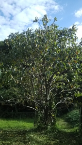 181013柿の木2