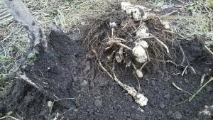 181030キクイモ掘る1
