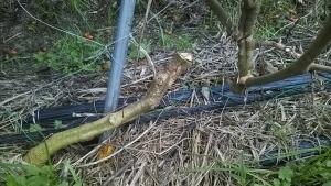 181114トマトの茎を切った