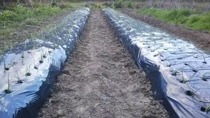 181114玉ねぎ苗追加で植える