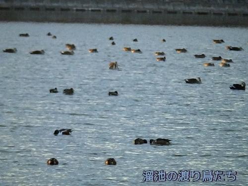 溜池の渡り鳥たち