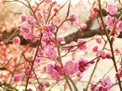 春らしい梅