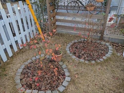 ブルーベリーの冬剪定と害虫駆除