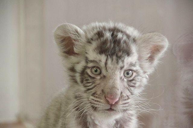 もんちゃん(白い虎の赤ちゃん)