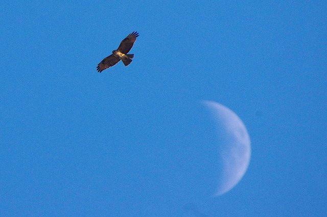 ノスリと月