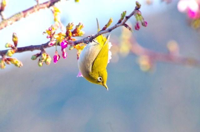 豊後メジロと河津桜 1
