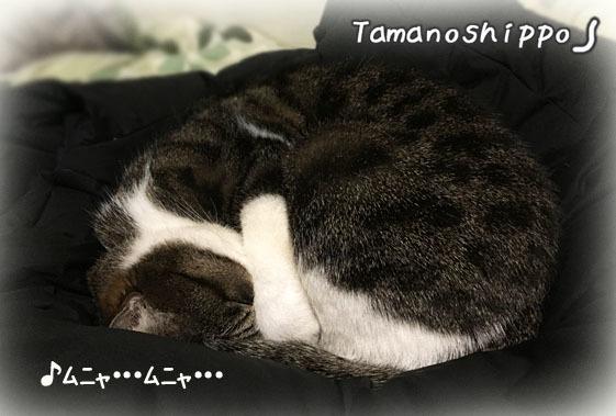 丸くなって寝る猫(ちび)