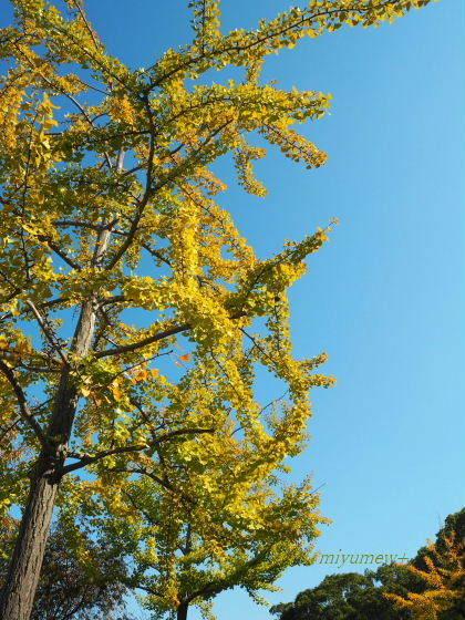 長居公園 黄葉