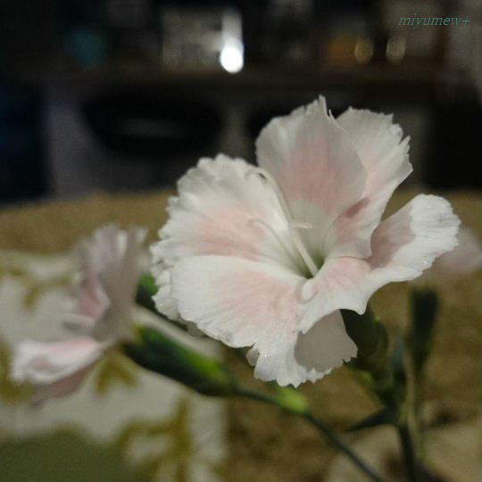 淡いピンク170127