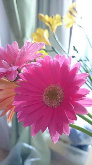 ガーベラ濃いピンク