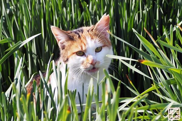 草むらから見ている三毛猫さん