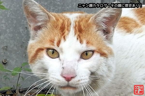 ニャン顔NO60 チャシロ猫さん