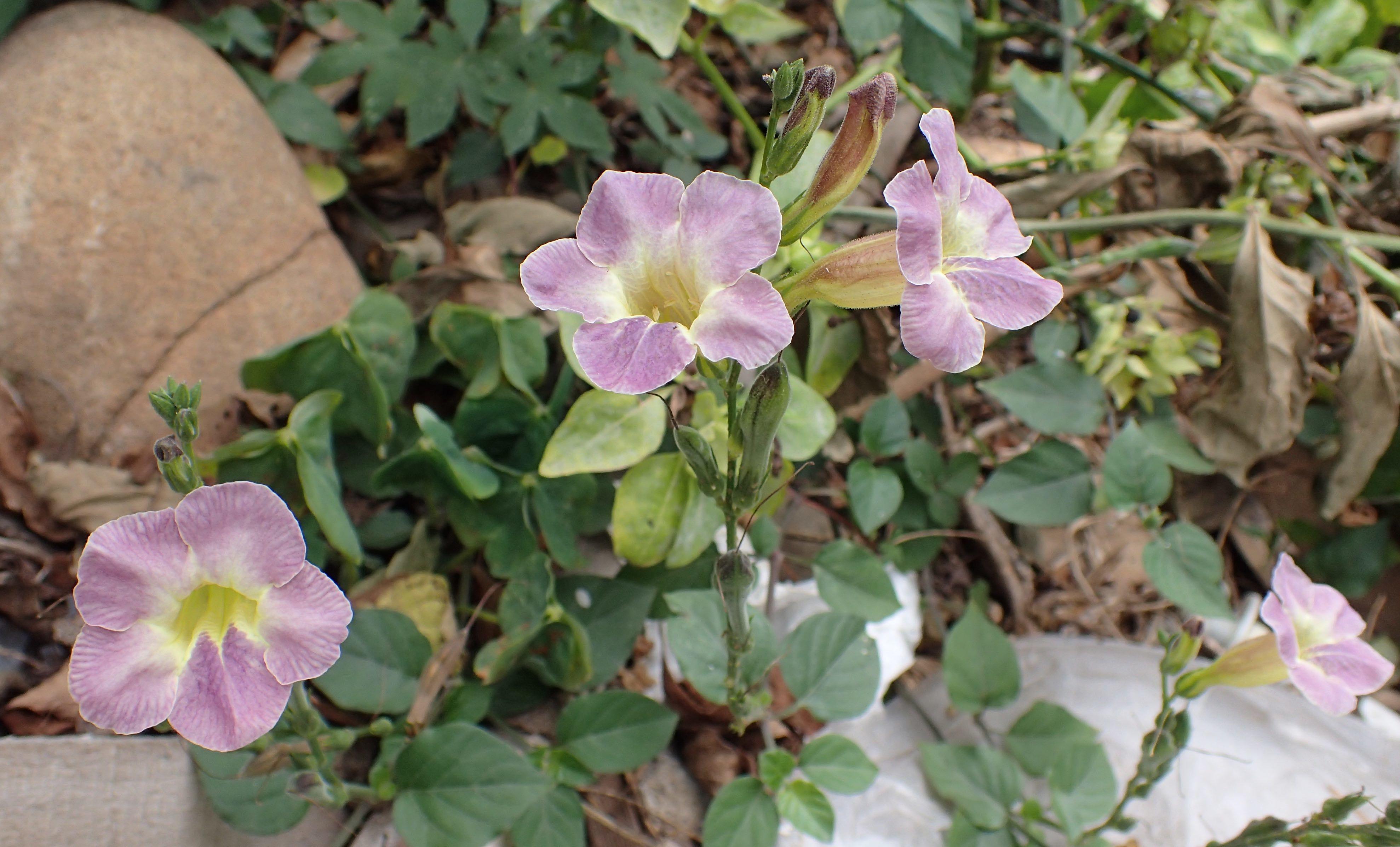 Taiwan花