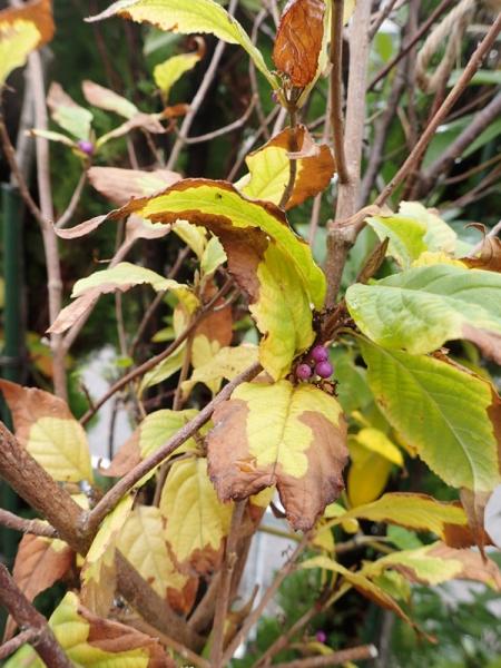 ムラサキシキブ 枯れ葉