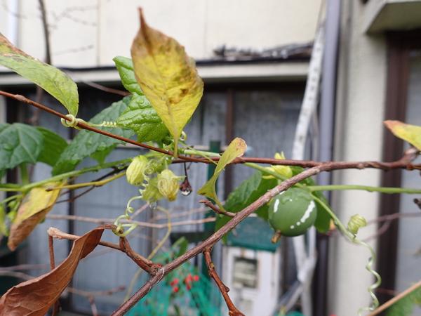 エゴノキ黄葉