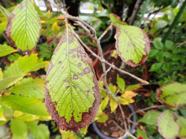 ゴマキ 枯れ葉