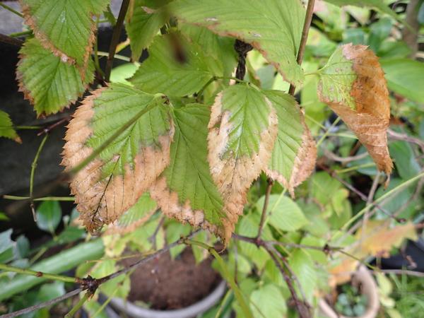 シロヤマブキ枯れ葉