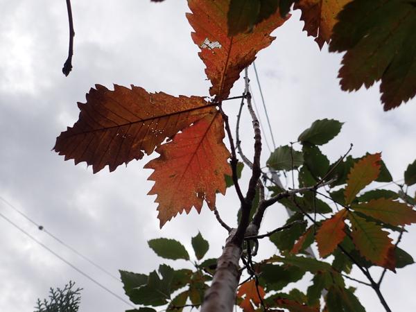 ミズナラ枯れ葉