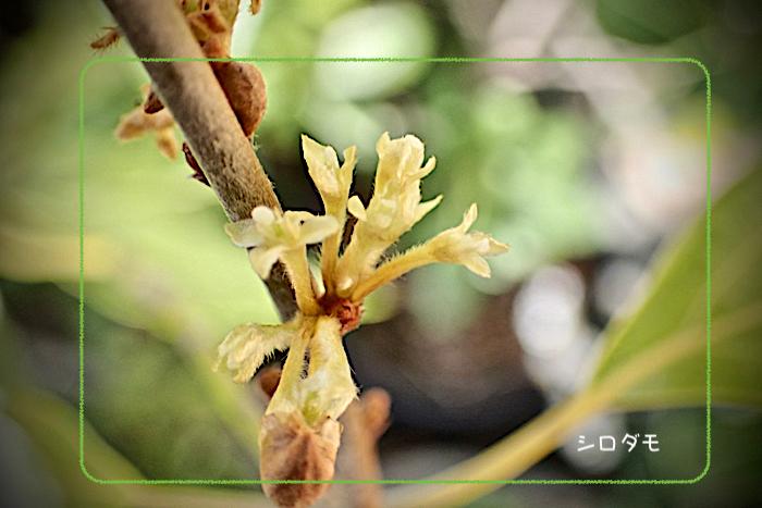 シロダモの花01