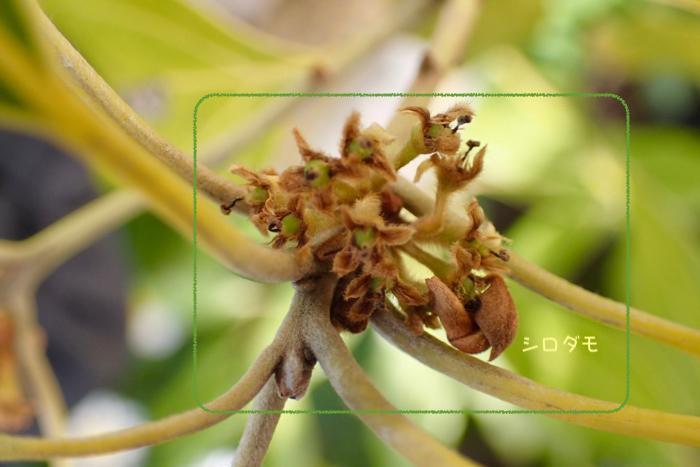 シロダモの花02