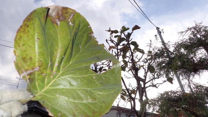 モクレンの葉4