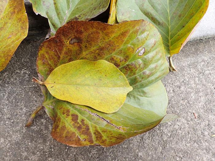 モクレンの葉2