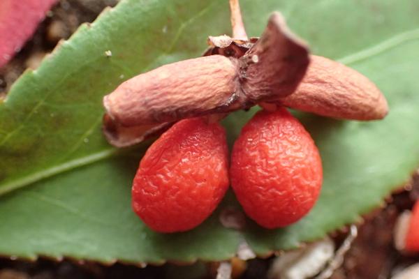 ニシキギノ果実