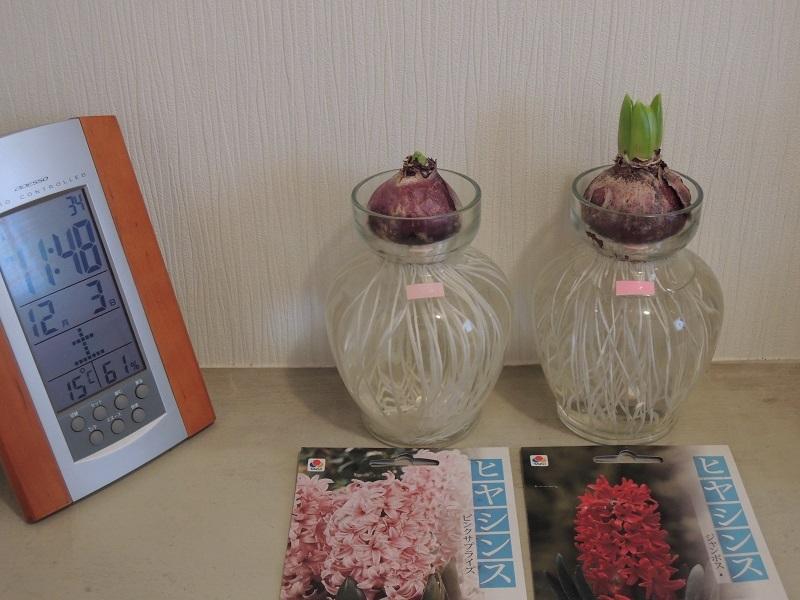 ヒヤシンスは、ピンクと赤の花が咲く予定