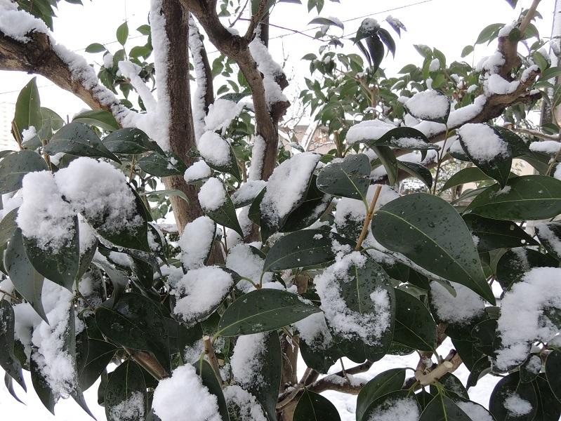 マンションの植木に雪