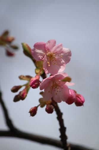 鶴見緑地 河津桜