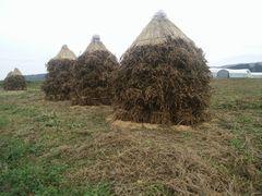 【写真】隣りののぶ子さんの畑に作られた小糸在来(大豆)のボッチ