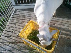 【写真】アランが黄色のカゴに入っている草を食べている様子