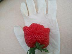 【写真】ゴム手袋の上に置いたの二番果の特大粒(紅ほっぺ)