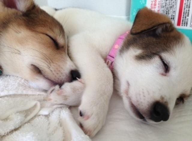 パルボ⑦愛媛県動物愛護センターでのパルボウィルス感染によって生死の境をさまよったものの、ミーママの機転や判断力、松山隊の献身的な看護によって、2匹とも奇跡的に助かり、よりそって眠るはっとり、はんぞう君