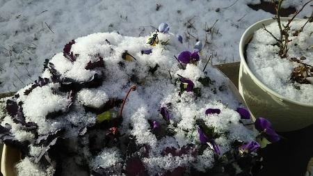 雪を被った寄せ植えDSC_0132