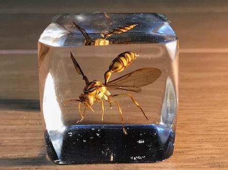 ムモンホソアシナガバチ:樹脂標本2
