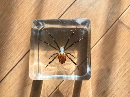 スズミグモの樹脂標本2