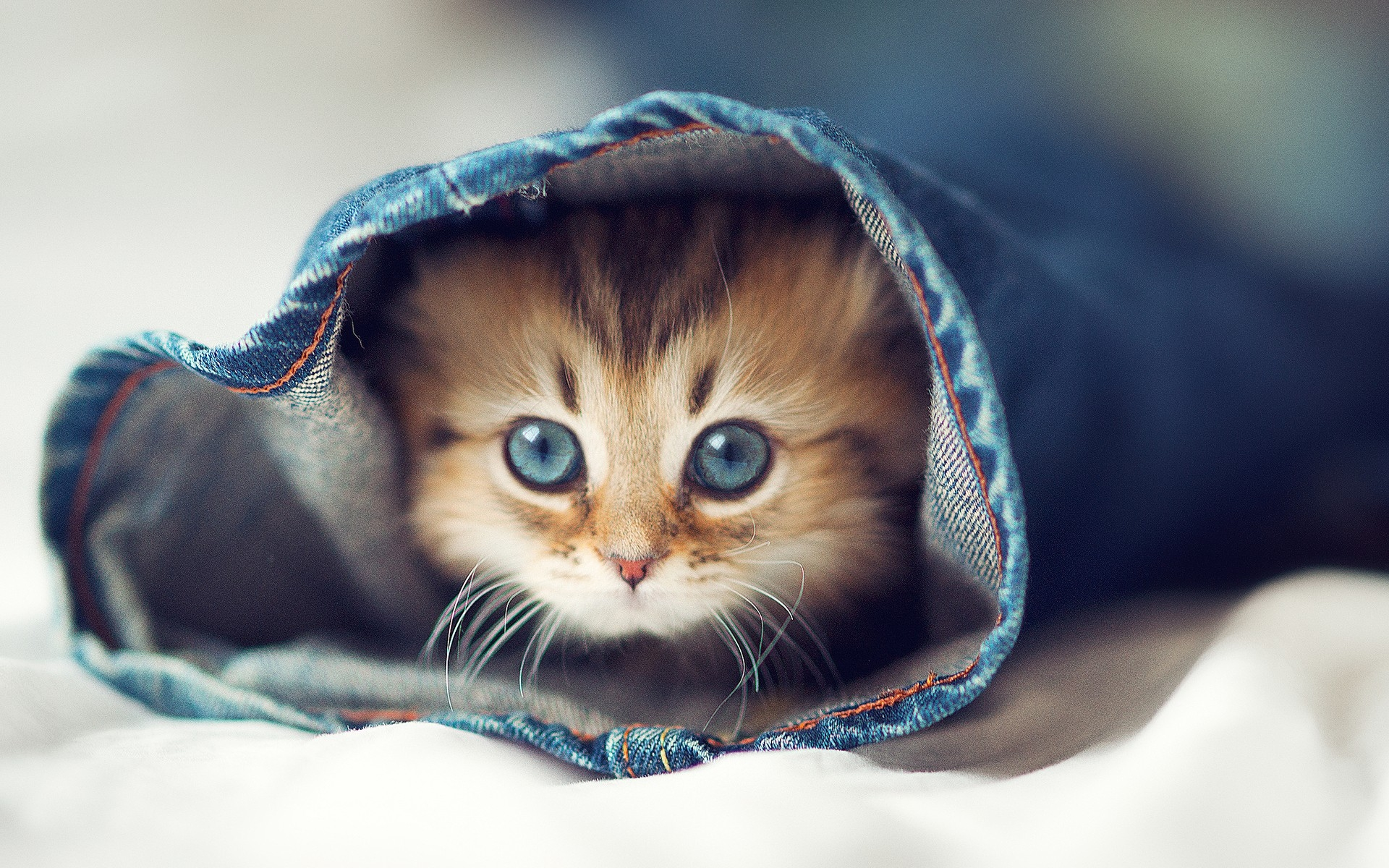 Jeans_cats_animals_kittens_pets_1920x1200.jpg