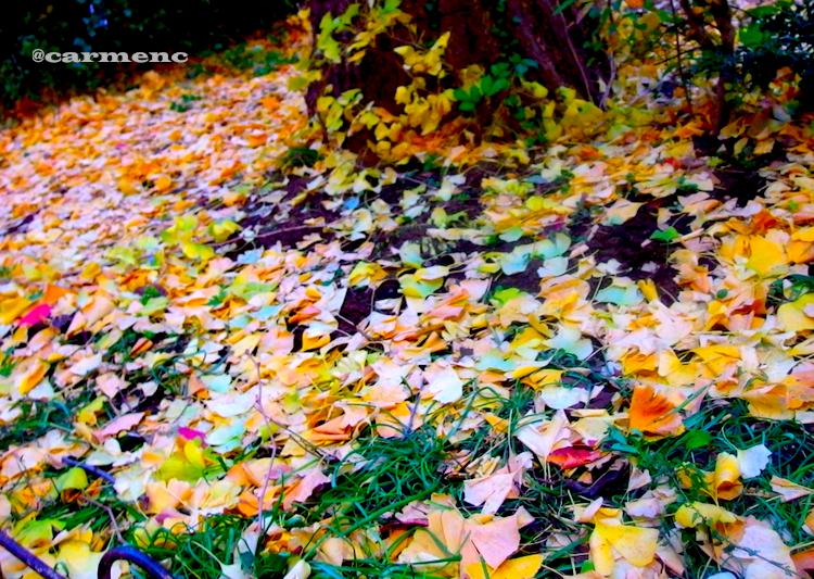 銀杏の枯れ葉の絨毯