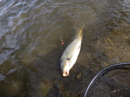 鯉 (2)