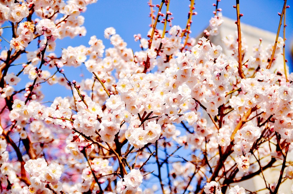 161124文化の花