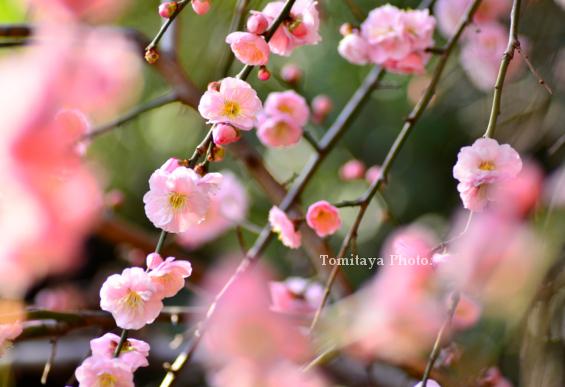 天王寺垂れ咲き